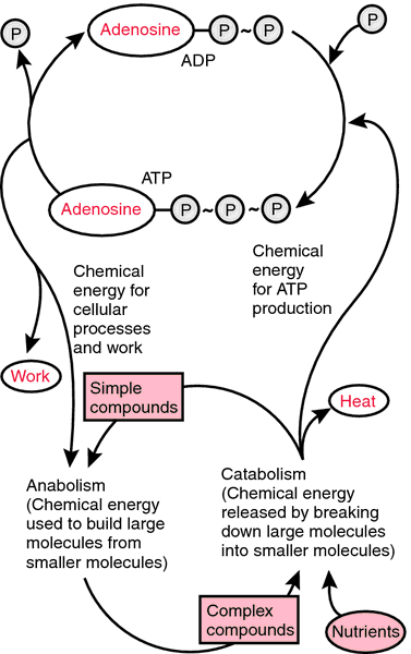 Cyclic adenosine monophosphate | definition of cyclic adenosine ...