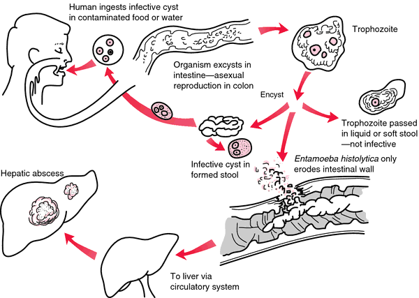 Entamoeba Coli Life Cycle http://medical-dictionary.thefreedictionary.com/amebiasis