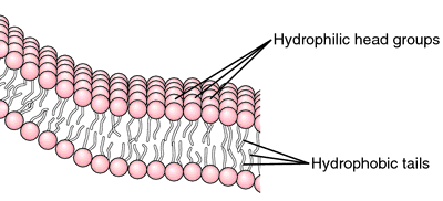 Bilayer   definition of bilayer by Medical dictionary