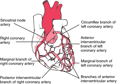 coronary arteries | definition of coronary arteries by medical, Human Body