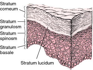 epidermis | definition of epidermis by medical dictionary, Cephalic Vein