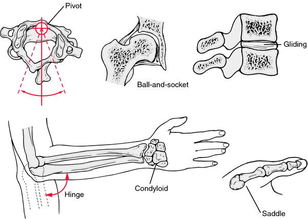 hinge joint | definition of hinge joint by medical dictionary, Cephalic Vein