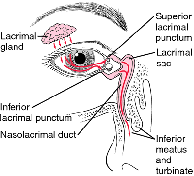 lacrimal cyst | definition of lacrimal cyst by medical dictionary, Human Body