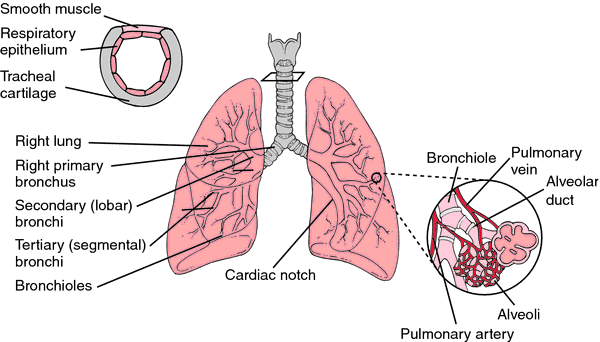 trachea/bronchus/lung cancers | definition of trachea/bronchus, Cephalic Vein