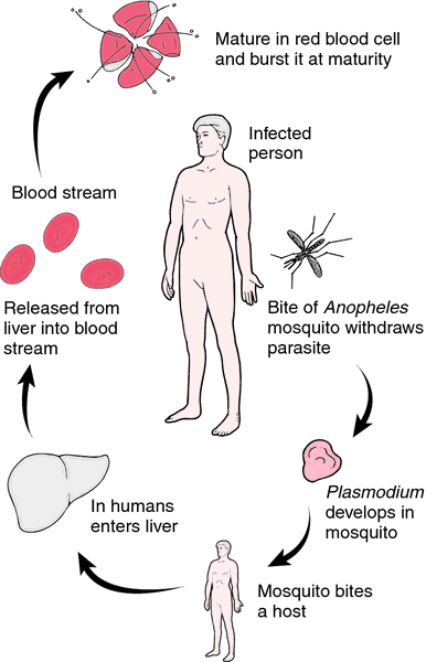 How does Malaria affect the body?