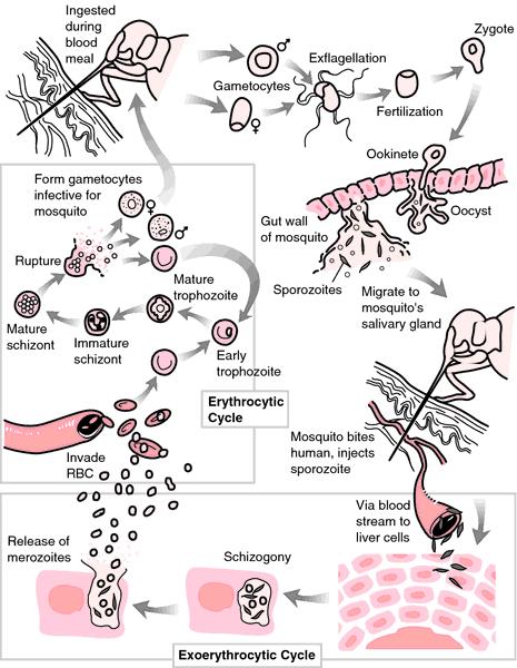 The Evolution Of Resistance To Avian Malaria (Plasmodioum Relictum) In Hawaiian Birds - image 9