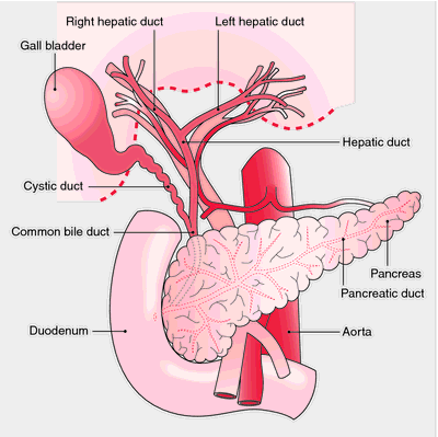 digestive system diseases | definition of digestive system, Human Body