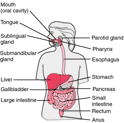 Alimentary Canal Definition Of Alimentary Canal By Medical Dictionary