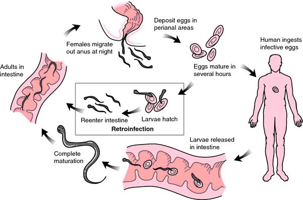 Enterobius vermicularis reservorio, Enterobius vermicularis gpc