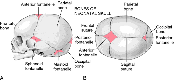 Fontanelle   definition of fontanelle by Medical dictionary