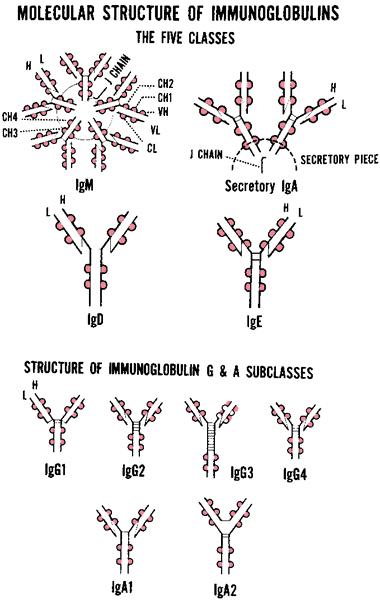 Immunoglobulin genes | definition of immunoglobulin genes by Medical ...