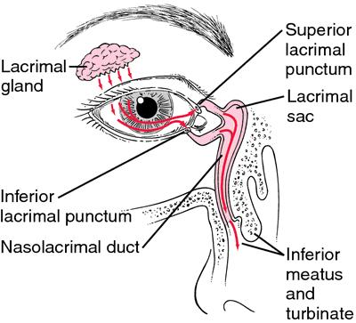 Lacrimal Apparatus Definition Of Lacrimal Apparatus By Medical
