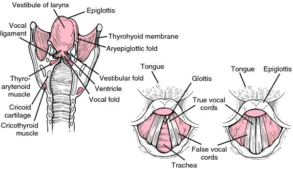 Larynx | definition of larynx by Medical dictionary