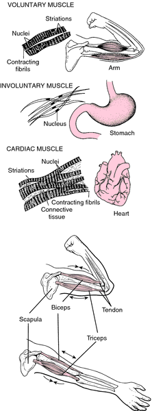 Muscle Definition Of Muscle By Medical Dictionary