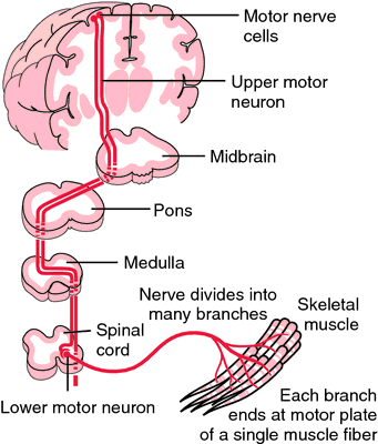 Motor Nerve Cell Definition Of Motor Nerve Cell By Medical Dictionary