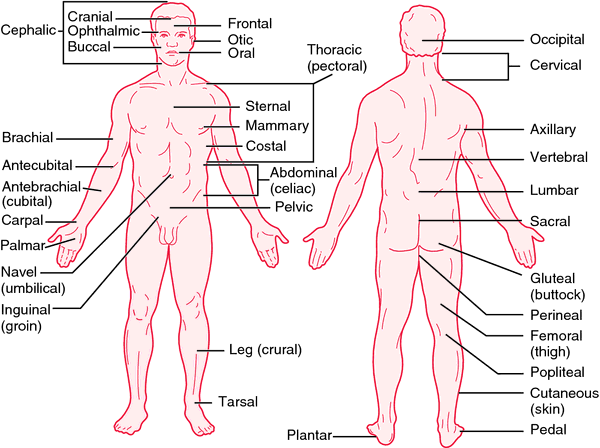 Anatomical Position Definition Of Anatomical Position By Medical