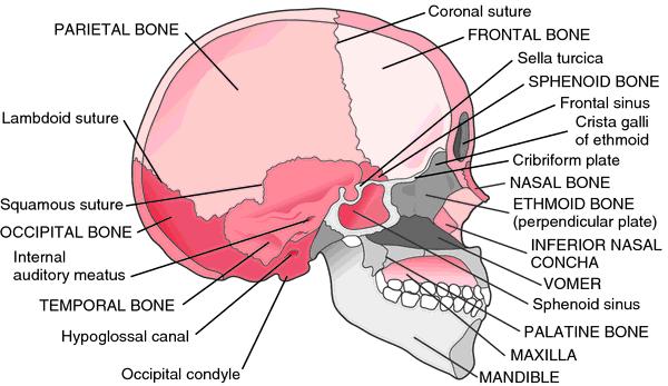 Skull Bones Definition Of Skull Bones By Medical Dictionary