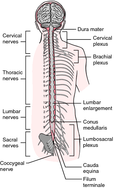 Spinal Cord Definition Of Spinal Cord By Medical Dictionary