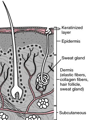 sweat gland | definition of sweat gland by medical dictionary, Human Body