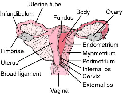 Uterus | definition of uterus by Medical dictionary