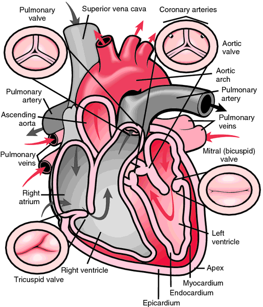 Thebesian valve | definition of thebesian valve by Medical dictionary