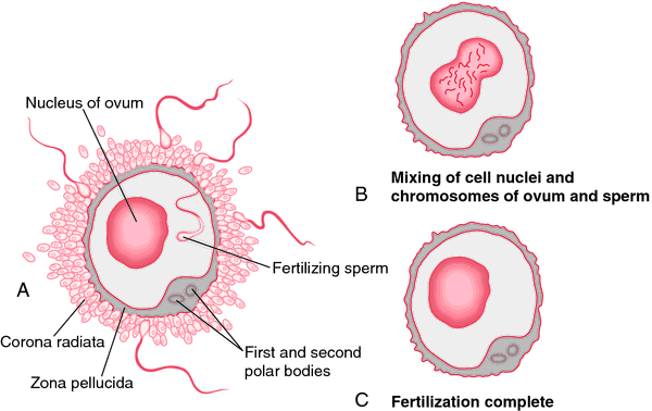 Fertilized egg | definition of fertilized egg by Medical ...